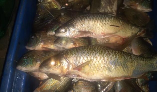 Fiscalização apreende 105kg de peixes e multa pescadores em R$ 5,6 mil por captura durante a piracema